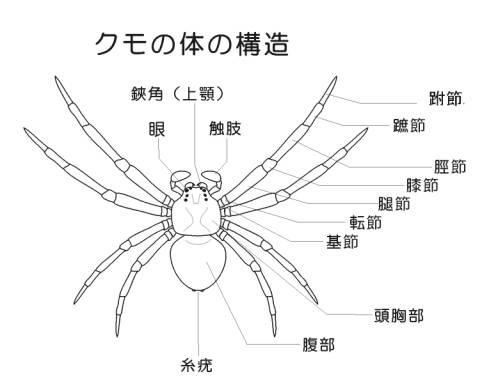 家にこのクモが出たんですが、危ないクモでしょうか?分かる方、できればなんと...